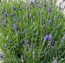 花苗イングリッシュラベンダー富良野ブルー3.5号ポット花色:青フラノブルー北海道宿根草多年草寄せ植え香りイングリッシュガーデン