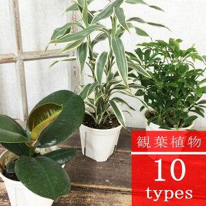 観葉植物 【全10種】から選べます 4号プラ鉢 ガジュマル シェフレラ フィカス ドラセナ サンデリアーナ セローム モンステラ コーヒーの木 パキラ
