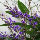 商品入れ替え特価【E】ハーデンベルギア5号鉢 開花株パープルと白花の2色植え