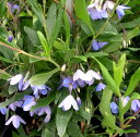 小さなブルーの花が風にそよぎます!【グリーンカーテン】緑のカーテンオーストラリアンブルー...
