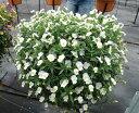 白色ビオラ!!ビオラホワイトガーデン3ポットセット3号ポット開花株