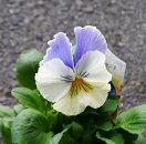 【2個セット】パンジーマリアブルーオーシャン3号ポット2ポットセット花壇苗寄せ植え