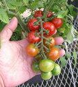 【お得なセット】野菜苗ミニトマト苗リコピーナ3種類セット3号ポット 【3ポットセット】