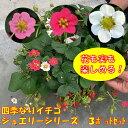 3色の花と実も楽しめるいちごのセット!四季なりイチゴジュエリーシリーズ3号ポットラベル苗3色...