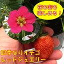 四季なりイチゴレッドジュエリー3号ポットいちご 苺
