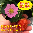 かわいいピンク花!花も実も楽しめる!四季なりイチゴピンクジュエリー3号ポットラベル苗いちご...