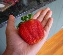 【Q】いちご大実アイベリー3〜3.5号ポット苗イチゴ 苺