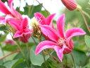 一番人気のかわいい花!とっても良く咲きます!【新枝咲き】クレマチス中苗テキセンシス系プリ...