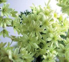 ☆【L】【常緑】【旧枝咲き】クレマチスマルモラリア ペトリエイ2,5~3号ポット【開花株】