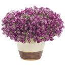 【花苗】スーパーアリッサムパープルナイト3号ポット花色紫PW(PROVENWINNERS)耐暑性