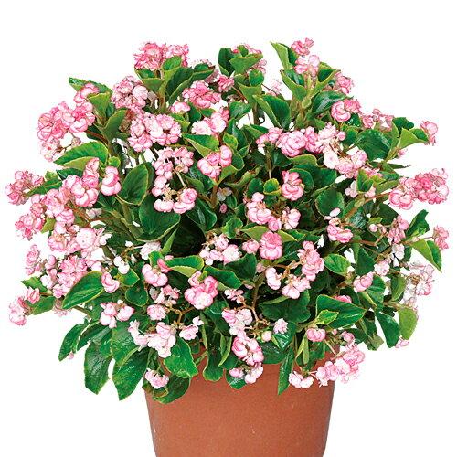 苗物, 花の苗物  4 3 PW PROVEN WINNERS
