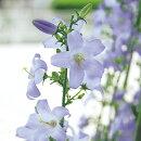 カンパニュラソリドラアイーダ花