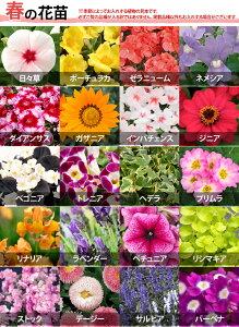【植物見本:春】季節の花苗花色ミックス20ポットセット