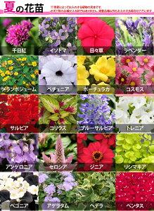 【植物見本:夏】季節の花苗花色ミックス20ポットセット