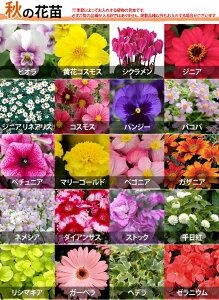 【植物見本:秋】季節の花苗花色ミックス20ポットセット