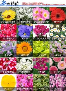 【植物見本:冬】季節の花苗花色ミックス20ポットセット