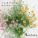 花苗コレオプシスウリドリーム3号ポット花または蕾付6色からお選び下さい宿根草