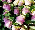 花苗オレガノベリシモ3号ポット苗花色パープルピンクガーデニング宿根草イングリッシュガーデン