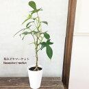 観葉植物スタンド仕立てフィロデンドロンヤッコカズラ4号プラスチック鉢(受け皿付き)観葉植物インテリアグリーンおしゃれインテリア雑貨