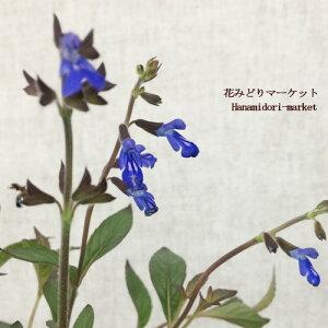 宿根サルビアコスミックブルー3〜3.5号ポット苗耐寒性宿根草イングリッシュガーデン