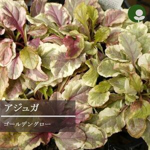 アジュガゴールデングロー2,5〜3号ポット宿根草【イングリッシュガーデン】