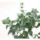 【C】ユーカリグニー3〜3,5号ポット【イングリッシュガーデン】【常緑】【庭木】【カラーリーフ】