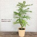 ネムノキ エバーフレッシュ 4号プラ鉢 インテリアグリーン
