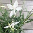 白蝶草 (ガウラ) スパークルホワイト 3.5号ポット苗