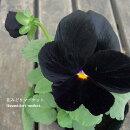 【3個セット】パンジーブラック(黒紫)3号ポット苗計3ポット