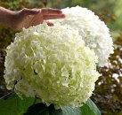 【A】【大苗】ガーデンアジサイインクレディボール5号ポット苗(極大輪咲きアナベル)