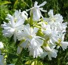 花苗八重咲きソープワート白花サポナリアオフィシナリス3.5号ポット