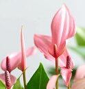 観葉植物アンスリウムリリー2.5号ポット苗