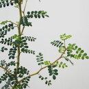 【INN2B】ソフォラリトルベイビー3号ポット風情のある草姿が人気です!