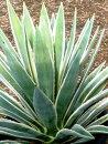 観葉植物アガベハクセンコウ6号ポット多肉植物インテリアグリーン