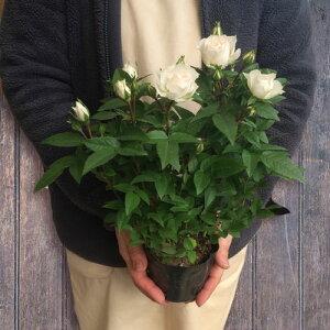 【花苗】ミニバラチカコルダーナ(クリーム)3,5号ポット花色:クリームポットローズコルダナ四季咲き