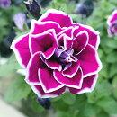 八重咲きペチュニアプリンセスダブルペチュニアダブルアイスピンク花苗寄せ植え小輪タイプ