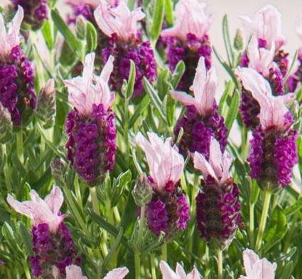 フレンチラベンダー バンデラ ピンク系 3〜3.5号ポット苗 ラベンダー ストエカスイングリッシュガーデン 宿根草 香り 芳香