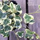 観葉植物アイビーヘデラカノン3号ポット苗