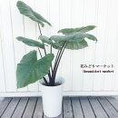 観葉植物アロカシアブラックステム7号鉢【同梱不可】