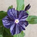 花苗変わり咲きニチニチソウビンカ藍染め絞り3号ポット花色:赤/白日々草