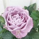 花苗ミニバラあすなろブルー3.5号ポット花色:青紫ポットローズ四季咲き人気豪華ガーデニング