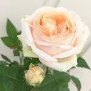 花苗芳香ミニバラベラミコルダーナ3.5号ポット花色:アプリコットミニチュアローズ芳香ポットローズ