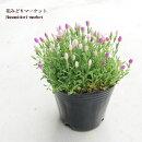 花苗小町りんどう(ケンタウリウム)あかり姫ピンクミックス3号ポット花色ピンクガーデニング寄せ植え花壇可愛いグランドカバー育てやすい