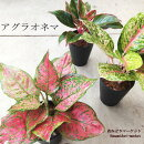 観葉植物アグラオネマ5号硬質鉢【品種を選んで下さい】カラーリーフ