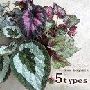 観葉植物レックスベゴニア全9種3.5号ポット苗