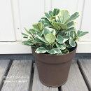 観葉植物フィカストライアンギュラリススイートハート4.5号プラ鉢【鉢皿付】