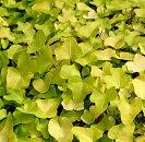 イングリッシュアイビーヘデラジェイク3号ポット多年草ガーデニング寄せ植え