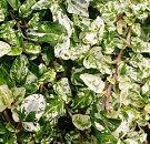 イングリッシュアイビーヘデラヘンリエッテ3号ポット多年草ガーデニング寄せ植え