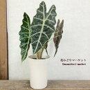 観葉植物アロカシアアマゾニカ5号鉢