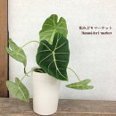観葉植物アロカシアグリーンベルベット5号鉢